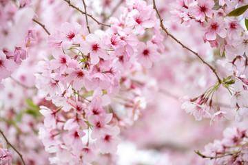 NaklejkaCherry blossoms