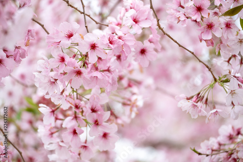 Foto Cherry blossoms