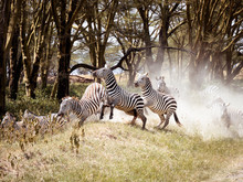 Group Of Zebras Crossing A Roa...
