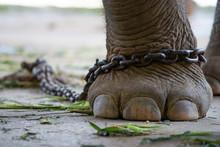 Elephant Bondage
