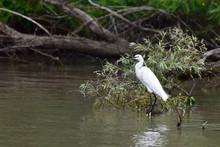White Egret Resting In The Danube Delta