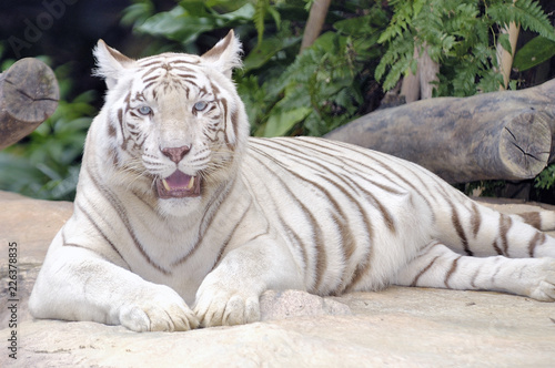 Fotografie, Obraz  Rare White Bengal Tiger Lying Down Looking Straight at Camera