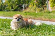Cute And Funny Red Light Pekingese Dog In Autumn Park Playing With Leaves And Joyful. Best Human Friend. Pretty Mature Dog In Garden Around Sunlight