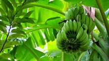 Fresh Green Banana On Tree