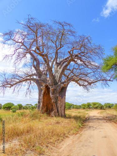Fotobehang Baobab Afrikanischer Affenbrotbaum (Adansonia digitata) Baobab