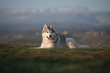Beautiful gray Siberian Husky lies in the green grass against the backdrop of mountains.