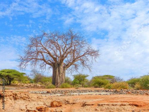 Afrikanischer Affenbrotbaum am ausgetrockneten Flussbett Barai bei Gorofani Mang Wallpaper Mural