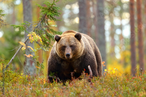 Big brown bear in a forest looking at camera