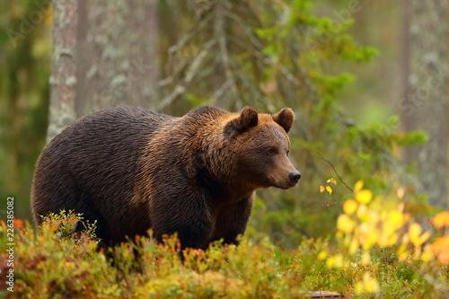 Fototapeta premium Widok z boku na niedźwiedzia brunatnego w lesie w jesieni