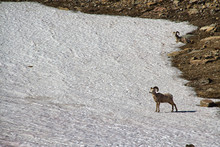 A Bighorn Sheep, Otherwise Known As A Ram, On A Snow Field In Glacier National Park.