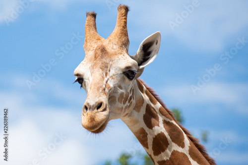Photo  A giraffe's habitat is usually found in African savannas, grasslands or open woo