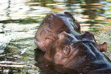 Hippopotamus Is Soaked In Water In A Pond.