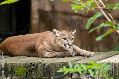 Spoed Foto op Canvas Puma Cougar