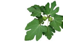 Ornamental Figs Tree Branch Wi...
