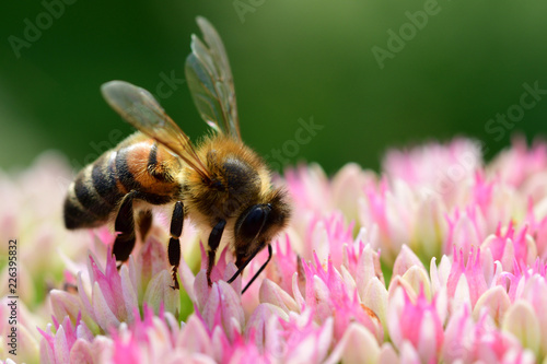 Foto auf Leinwand Bienen Macro shot of a bee on a sedum flower