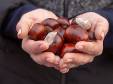Chestnuts Handful In The Female Palms