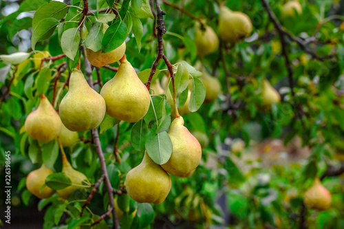 Organic Pears. Juicy flavorful pears of nature background. Pear on a branch. A pear on a tree