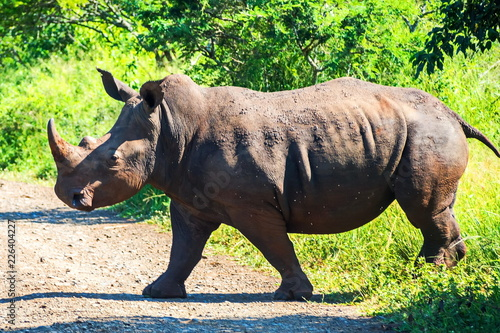Fotobehang Neushoorn Rhino goes on the road. Safari in national parks of South Africa.