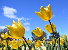 Yellow Tulip Flowers Against Blue Sky. Tulip Flower. Beautiful Tulips On Tulip Field With Blue Sky And Green Leaf Background. Spring Concept.