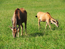 View Of Two Common Eland Antel...