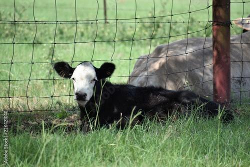 Photo  black and white baby Angus calf laying down