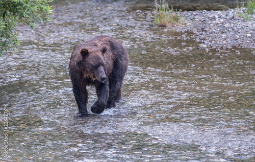 Photo  Coastal grizzly bear
