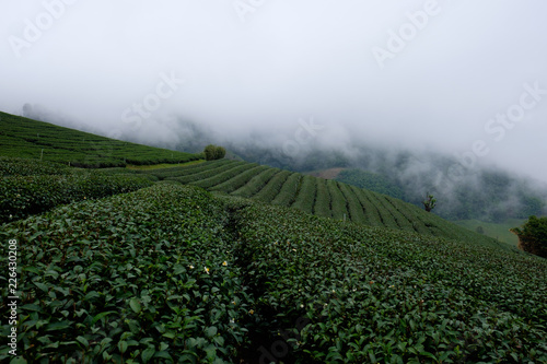 Poster Khaki Tea plantation at Doi Mae Salong, Chiang Rai, Thailand.