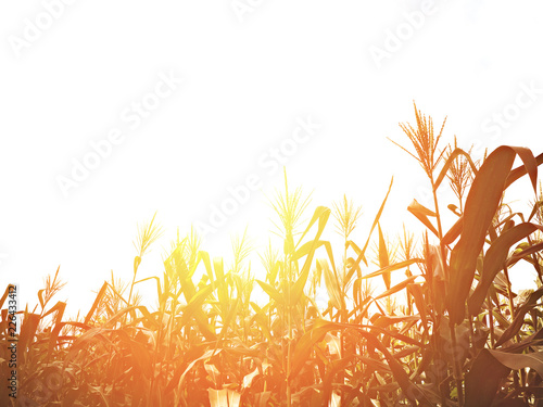 Tableau sur Toile Corn field at sunset with copy space.