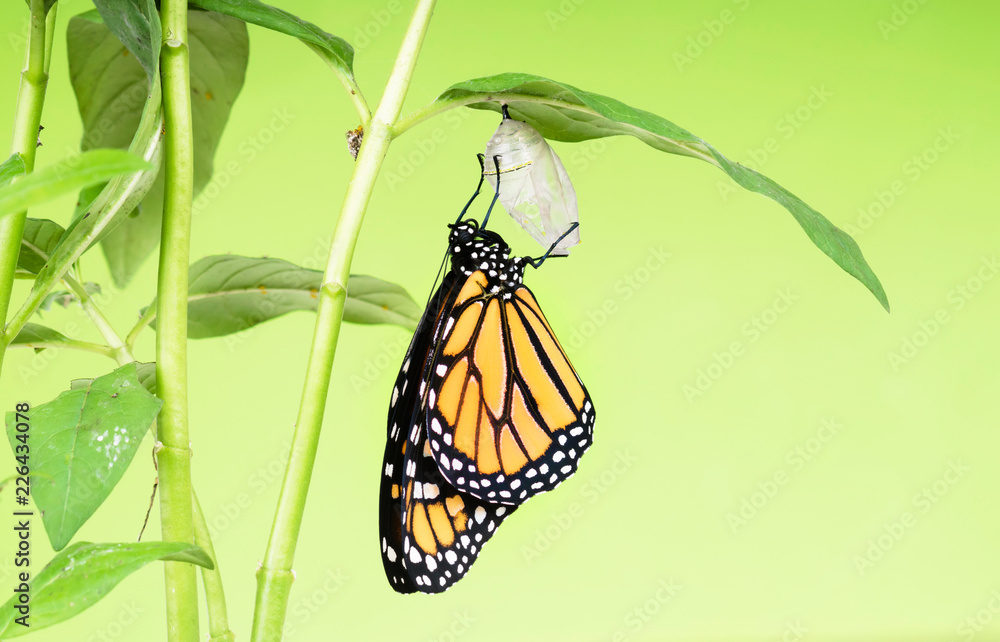 Monarch butterfly (Danaus plexippus) gets out of the cocoon and dries its wings. The butterfly pupa was riveted to the leaf of the plant - Asclepias curassavica.