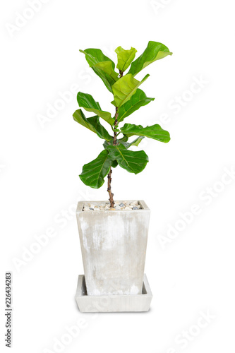 Obraz na plátne Potted Ficus Larata or Fiddle Leaf Fig Tree Isolated on White Background