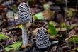 Spechttintling Pilz Waldboden