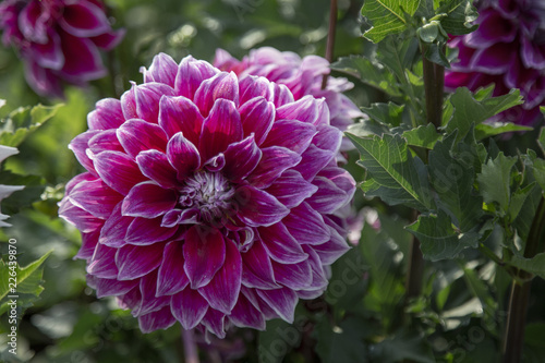 Foto op Canvas Bloemen Close Up, Isolated View of Sun Dappled Dahlia Flower, Bright Pink Petals with Similar Dahlia in Background