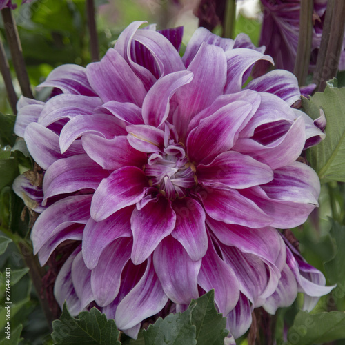 Foto op Canvas Bloemen Close Up View of Sunlit Pale Purple and White Colored Dahlia Flower with Green Leaves in Background