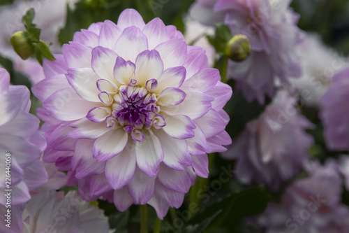 Fotobehang Bloemen Close Up View of Sunlit Pale Purple and White Colored Dahlia Flower with Green Leaves and Similar Dahlias in Background