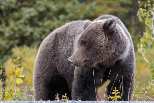 Bear walking in flowers in Yukon Canada