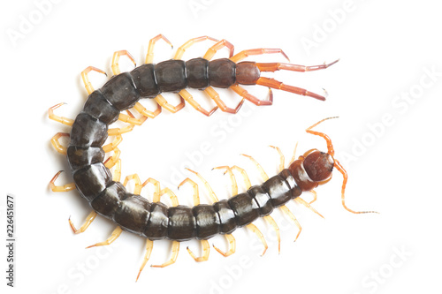 The Giant red Centipede dangerous animal on white background.