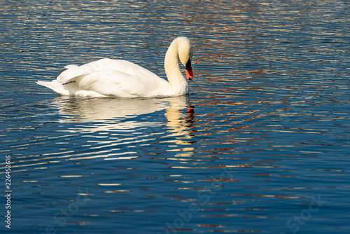 One Mute Swan swim on a Blue Lake