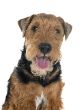 Welsh Terrier In Studio
