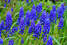 Grape Hyacinth Plant