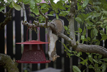View Of Grey Squirrel Hanging ...