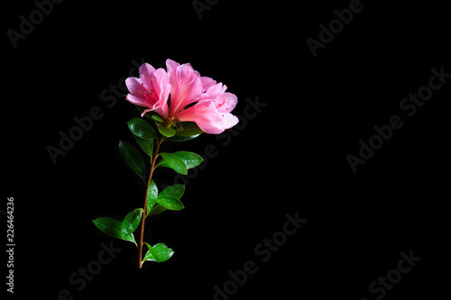 Pink azalea flowers and green leafs isolated on black with copy space
