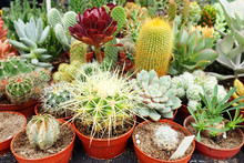 Group Of Different Cactus
