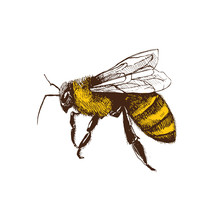 Hand Drawn Honeybee In Sketch Style  Isolated On White Background. Fliyng Honey Bee Vector Illustration.
