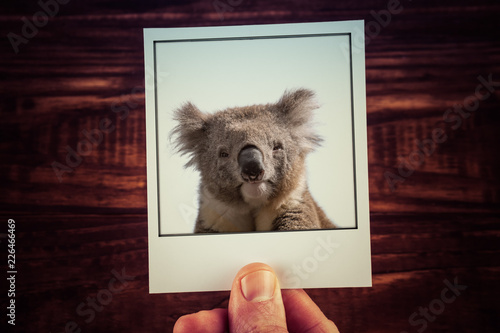 Photo Stands Koala Male hand holding instant photograph of koala on wooden table background