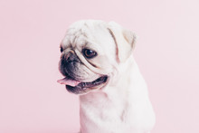 White Pugs