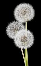 White Fluffy Dandelions On A Black Background