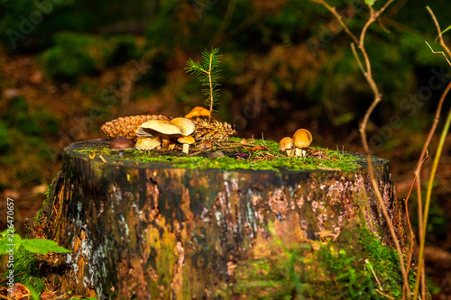 Fotografie, Obraz  Svampar på en trädstubbe