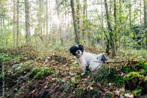 Obraz na plátně  Herbstspaziergang mit Hund im Wald