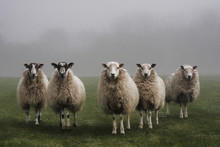 Five Sheep Lined Up In A Field...