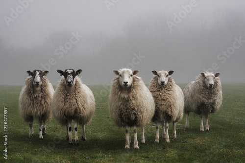 Spoed Fotobehang Schapen Five sheep lined up in a field on a misty day